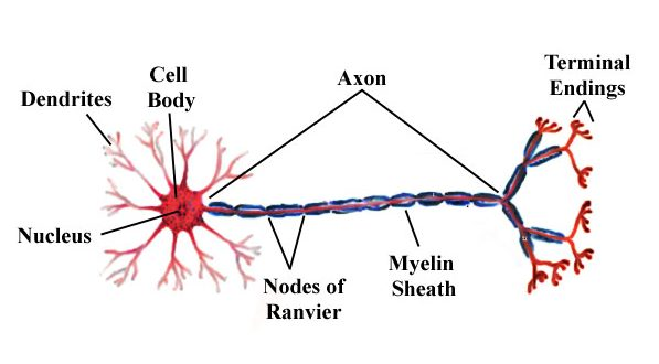 Action potential an action potential signal down to the next neuron that will be receiving the neurotransmitters in a synapse that it forms with the axon terminal 1 ccuart Image collections